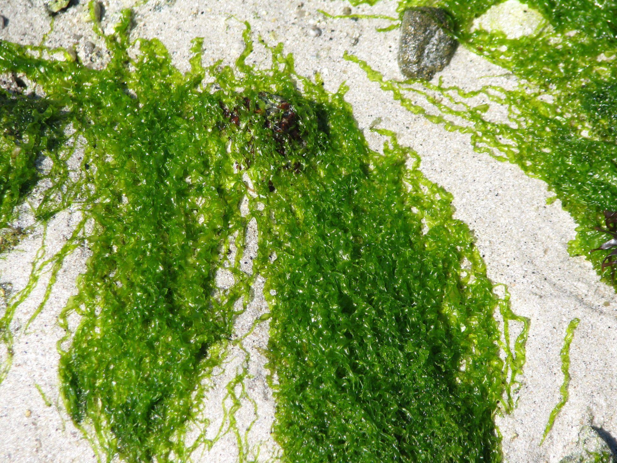 Peuton fabriquer du biocarburant à partir d'algues