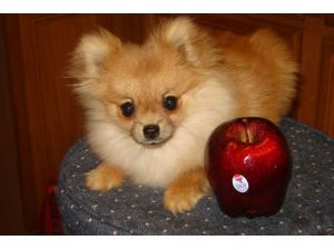Toy Pom My Future Dog I Want One With Images Teacup Pomeranian Full Grown Pomeranian Full Grown Teacup Pomeranian