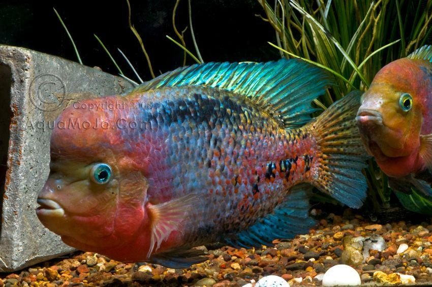 Paratheraps Synspilum Big Fishin Pinterest Freshwater