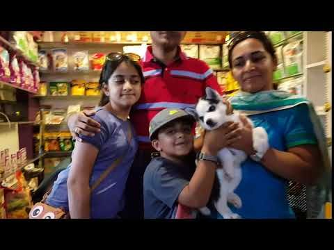 Siberian Husky Puppies For Sale At Best Price In Mumbai Maharashtra India In Pet Animals And Accessori Husky Puppies Price Husky Puppies For Sale Husky Puppy