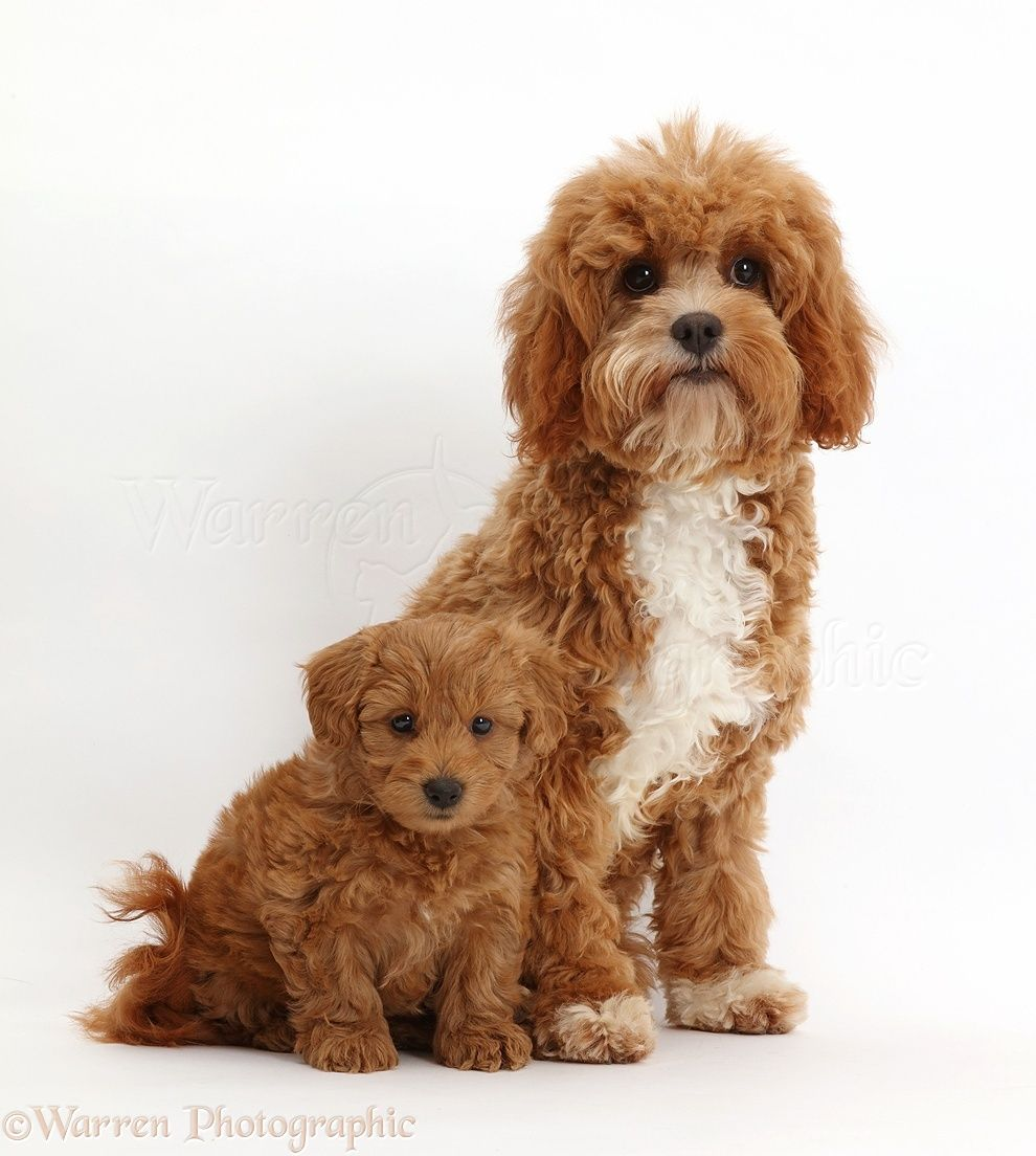 Pin by Amy Goldberg on Pets | Cavapoo, Cavapoo full grown