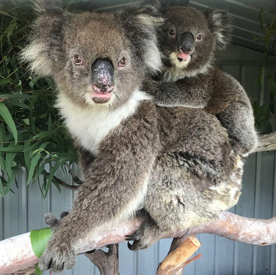 Adelaide Hills Koala Rescue On Instagram Swipe This Gorgeous Mum And Bub Are Staying With 1300koalaz For A Few Days Fo In 2020 Koala Koala Bear Gorgeous
