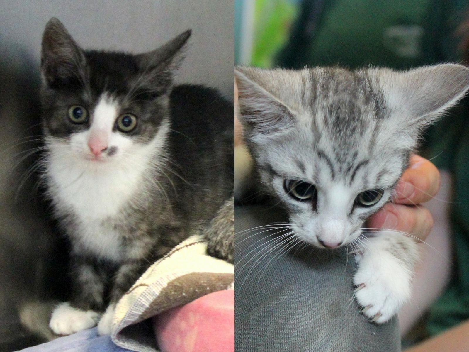 Lisa Und Mona Rasse Europaisch Kurzhaar Geschlecht Weiblich Farbe Grau Getigert Mit Weissen Abzeichen Geburtsjahr Ca In 2020 Tierheim Katzen Haus Katzen
