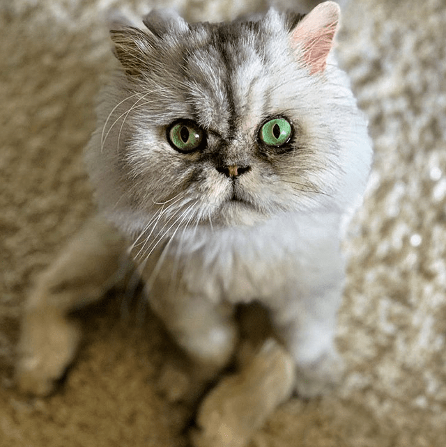 Meet The Stunning And Sweet Persian Cat With Hip Dysplasia And Malformed Knees Who Found The Perfect Family After Being Surrendered By A Breeder Persian Cat Cats Cat Selfie