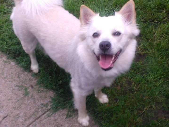 Adopt Griggs On American Eskimo Dog Bulldog Dog American