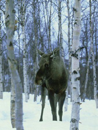 Elk (Aka Moose), Alces Alces Female Among Birches in Snow, Norway Fotografisk trykk av Mark Hamblin hos AllPosters.no