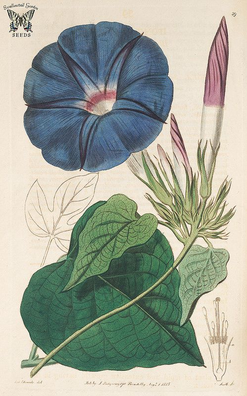 Blue Dawn Flower Oceanblue Morning Glory Perennial Morning Glory Botanical Register Vol 1 1815 S Edwards Botanical Drawings Botanical Illustration Botanical Prints