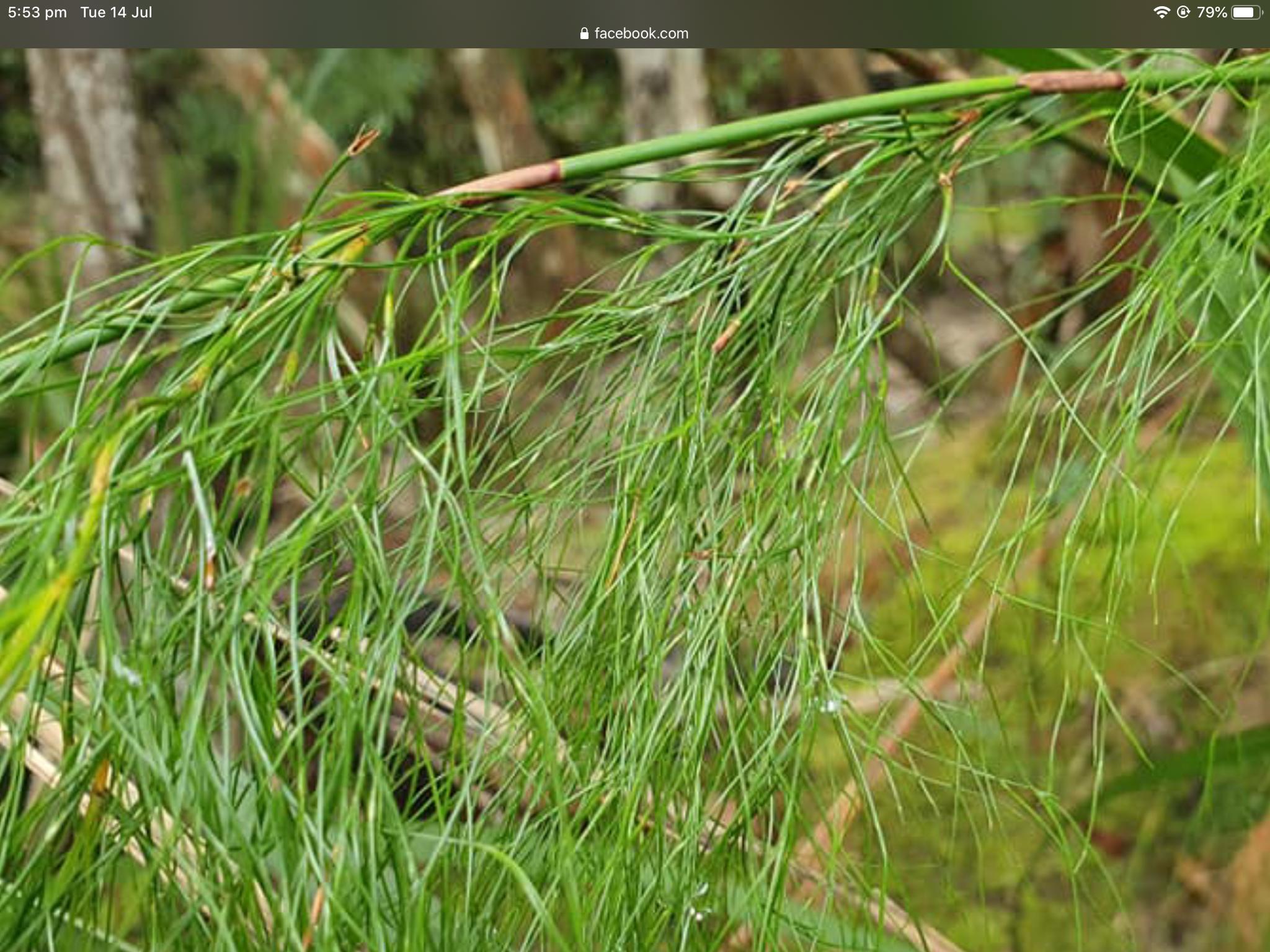 Baloskion tetraphyllum in 2020 Herbs, Grass, Wetland