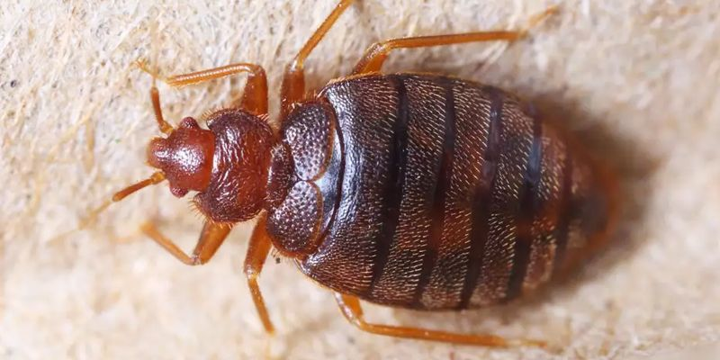 Bed Bugs Control With Images Bed Bugs Treatment Bed Bugs Bed