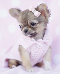 Toy Applehead Chihuahua Sale Chihuahua Puppies For Sale In South