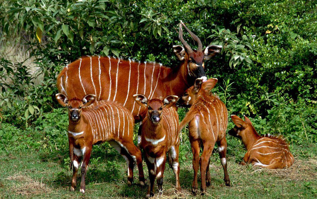 Afbeeldingsresultaat voor bongo dier