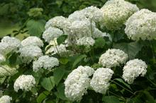 Annabelle Hydrangea Shrub White Flowering Shrubs Hydrangea Shrub Annabelle Hydrangea