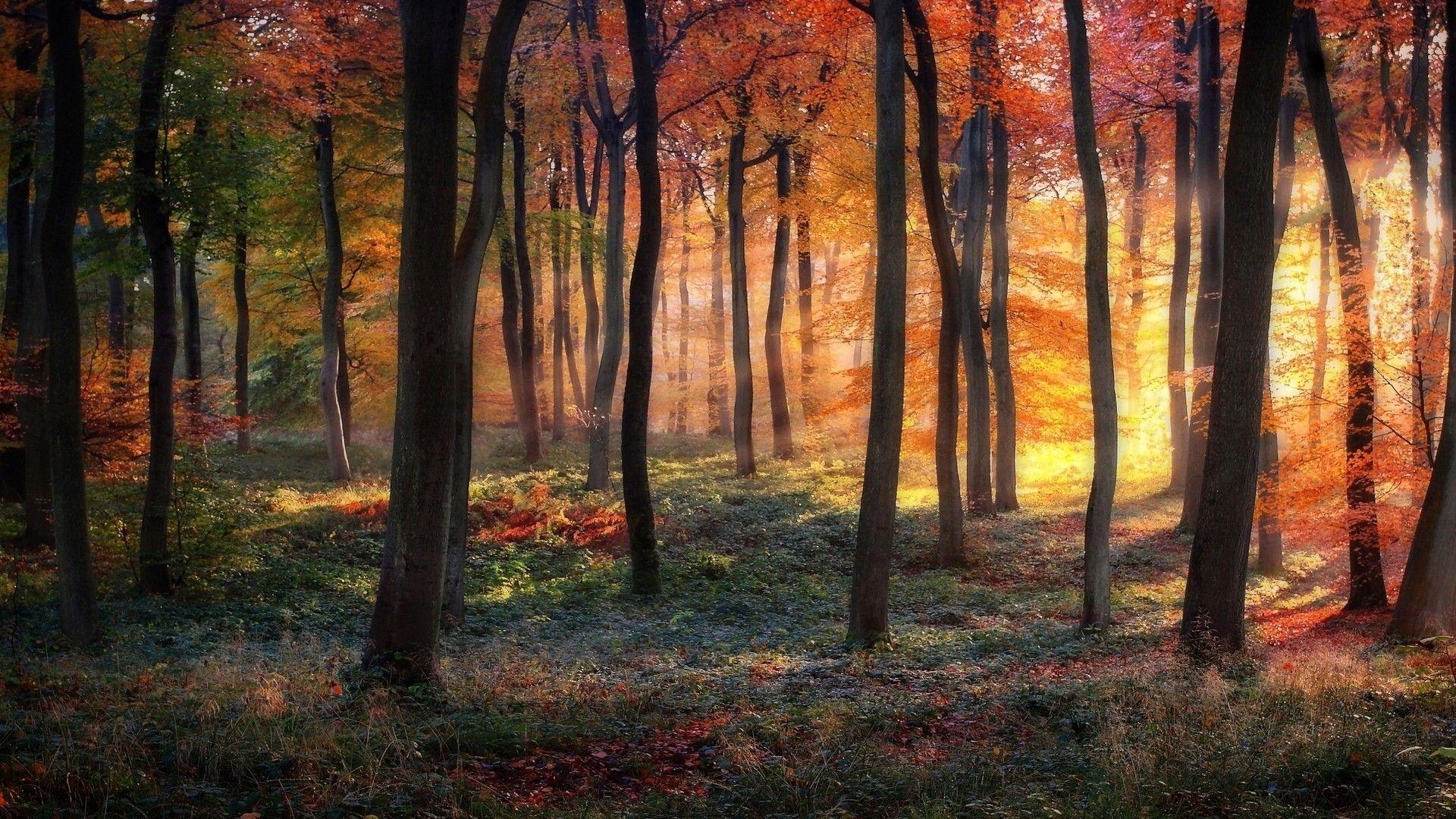 fond d'écran hd paysage arbre forêt feuilles sous bois automne coloré rayon de soleil wallpaper ...