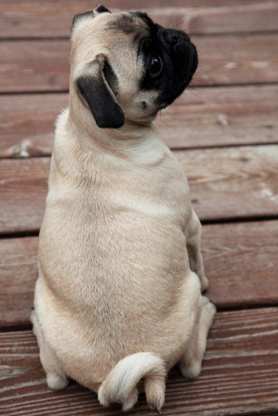 Pug Tail Pug Facts Pugs Pug Dog