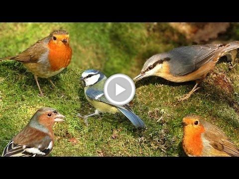 Videos for Cats to Watch : Birds in Woodland Wonderland