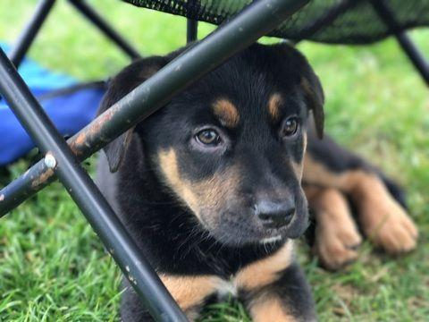 Litter Of 7 German Shepherd Dog Vizsla Mix Puppies For Sale In