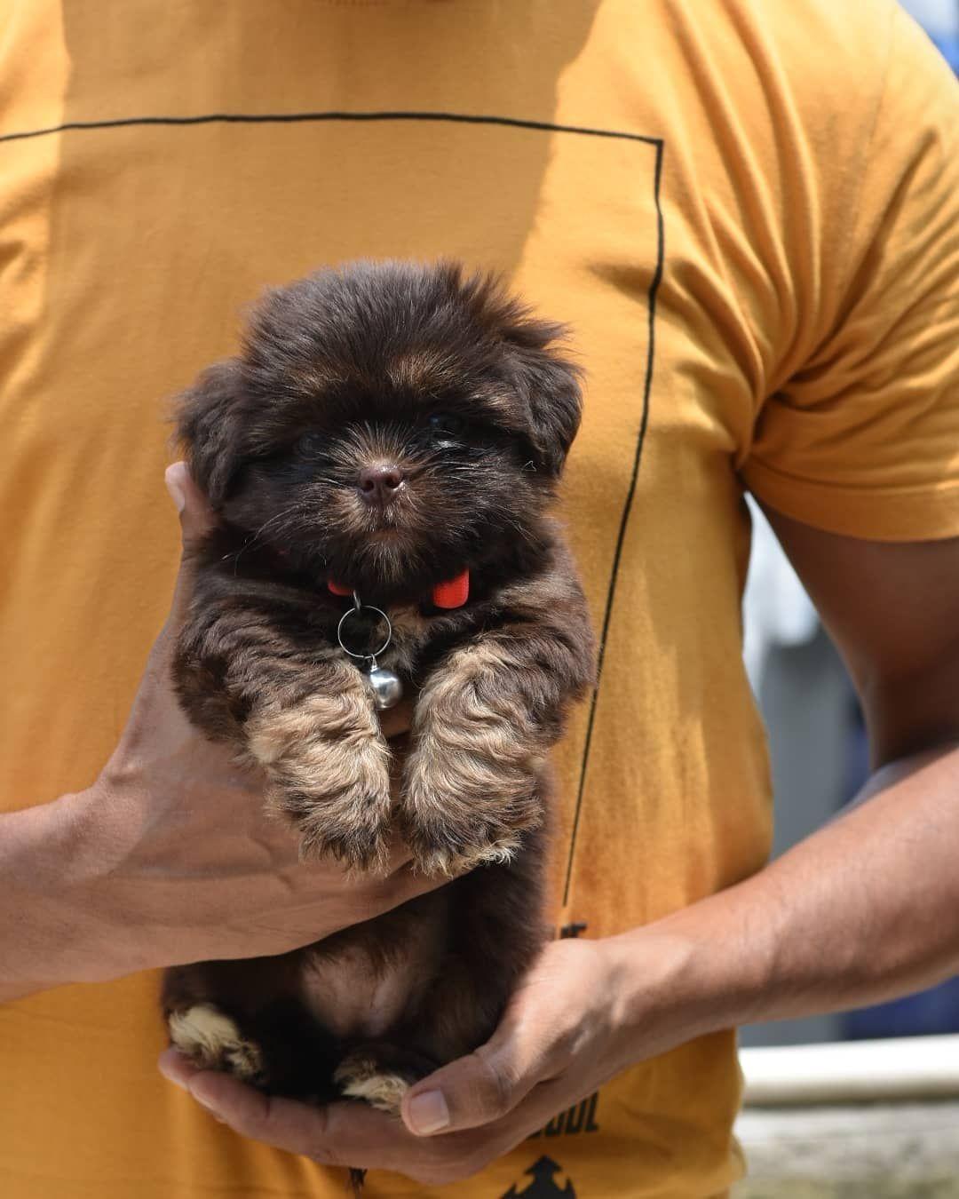 Lhasa Apso Puppies In 2020 Lhasa Apso Puppies Lhasa Apso Pets