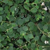 Gesneriad- One of over 400+ varieties from Exotic Angel Plants®