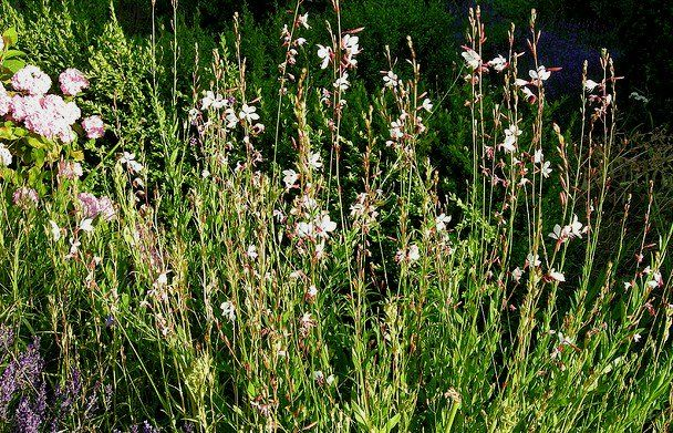 Gaura....This plant is one of my favorites. They have to be mulched heavily to winter over in this climate though.