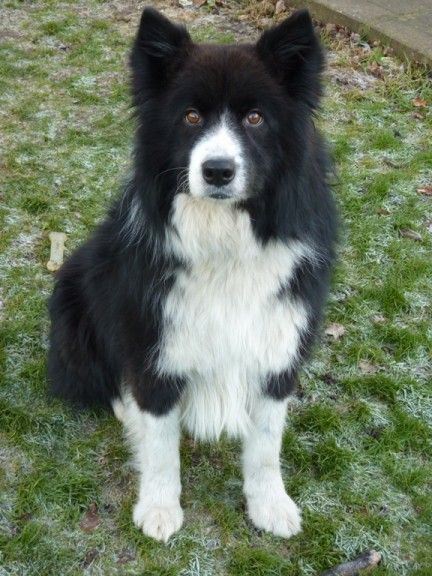 Gus 2 Year Old Male Collie Cross Samoyed Available For Adoption