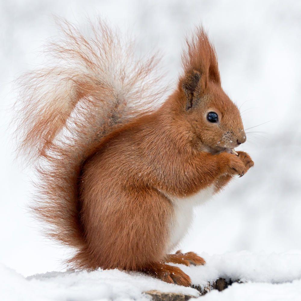 Eichhörnchen Im Garten : so locken sie eichh rnchen in den garten animals and ~ Watch28wear.com Haus und Dekorationen