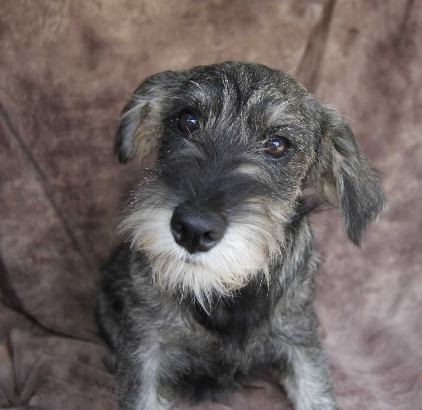 Standard Schnauzer Puppies For Sale Featured Puppies Sophie