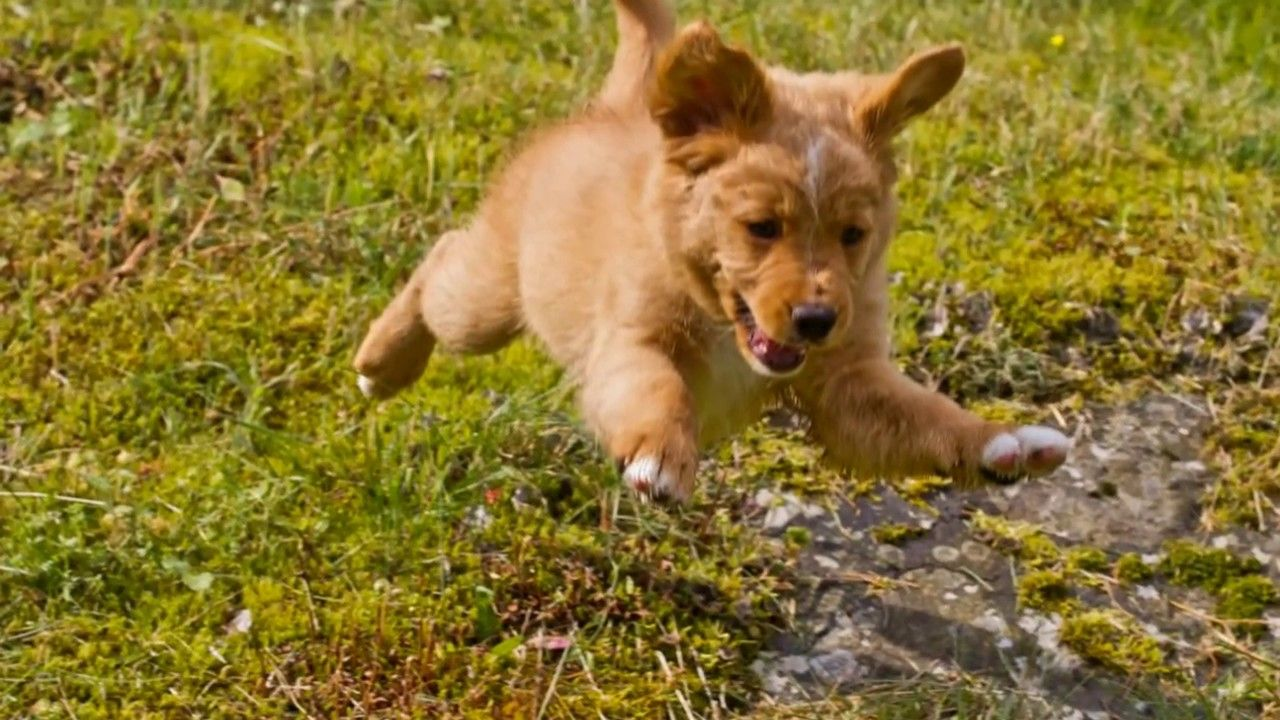 Nova Scotia Duck Tolling Retriever Movie Starts After The
