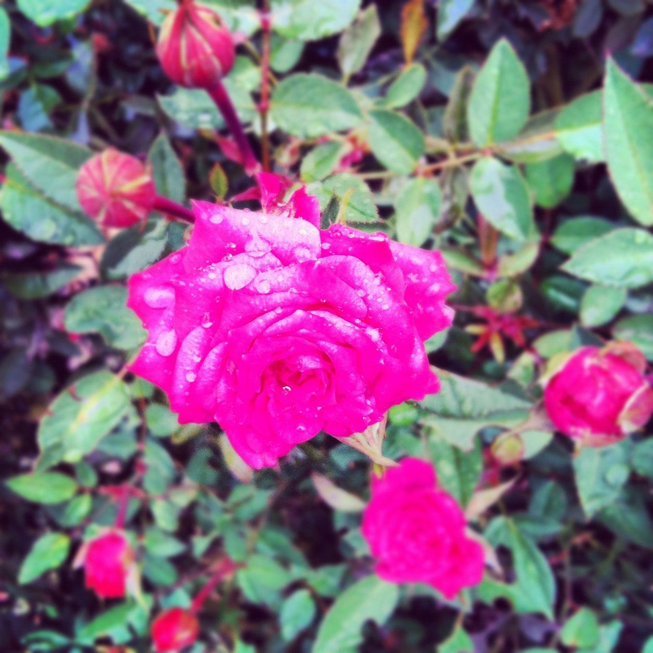 My moms Roses!:)