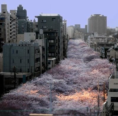 A cherry blossom lined canal in Nakameguro, Tokyo.