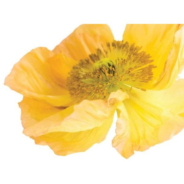 Yellow Poppy Garden Flower Vinyl Decal Wall Décor ($28) ❤ liked on ...