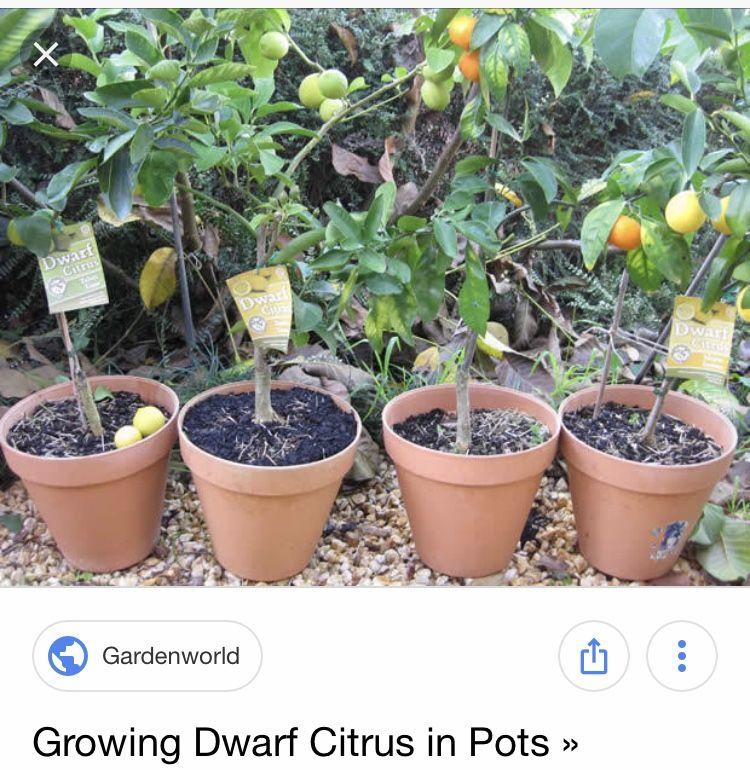 Potted Dwarf lemon tree!!! Potted fruit trees, Indoor