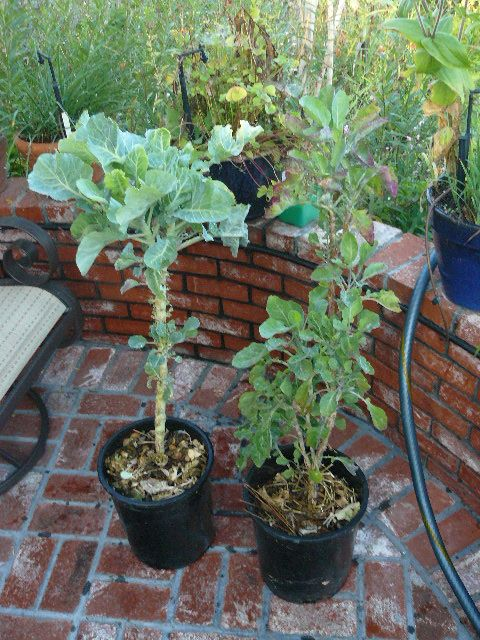 Beau Tree Collards From Centrose Nursery, Gardena, CA