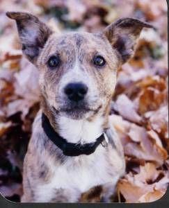 Australian Cattle Dog Bull Terrier Mix Bull Terrier Mix Bull Terrier Cattle Dog