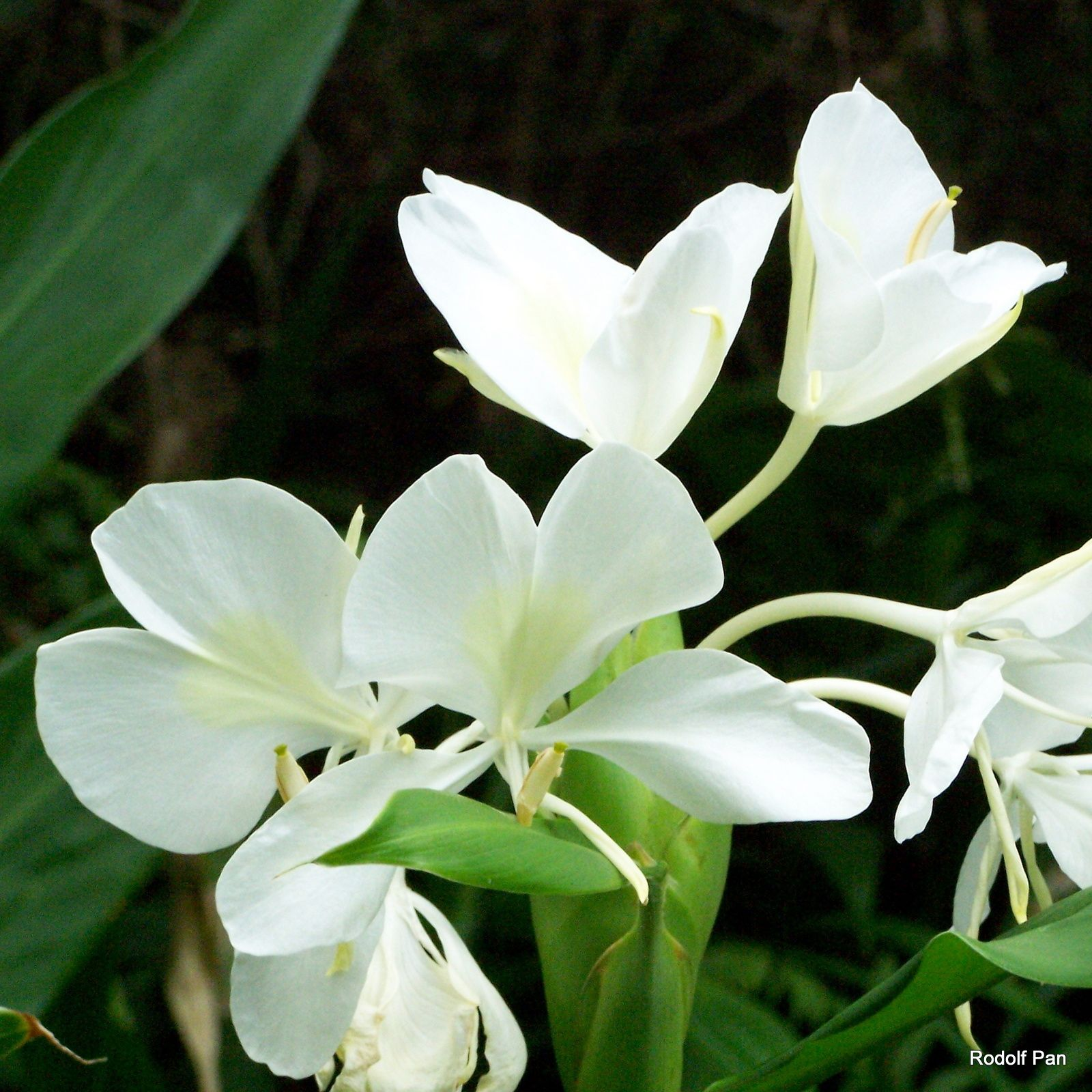 White Ginger Flowers In The Rainforests Of The Koolau Mountains