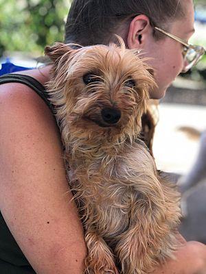 Greenburgh, NY Yorkie, Yorkshire Terrier. Meet Little