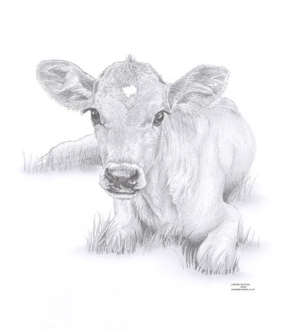 COW calf Limited Edition art drawing print signed by UK