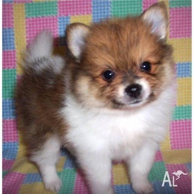 pomeranian puppies for sale in wales Zoe Fans Blog