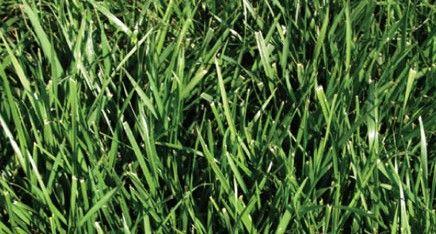 Sod Varieties Torrington Sod Tall Fescue Sod