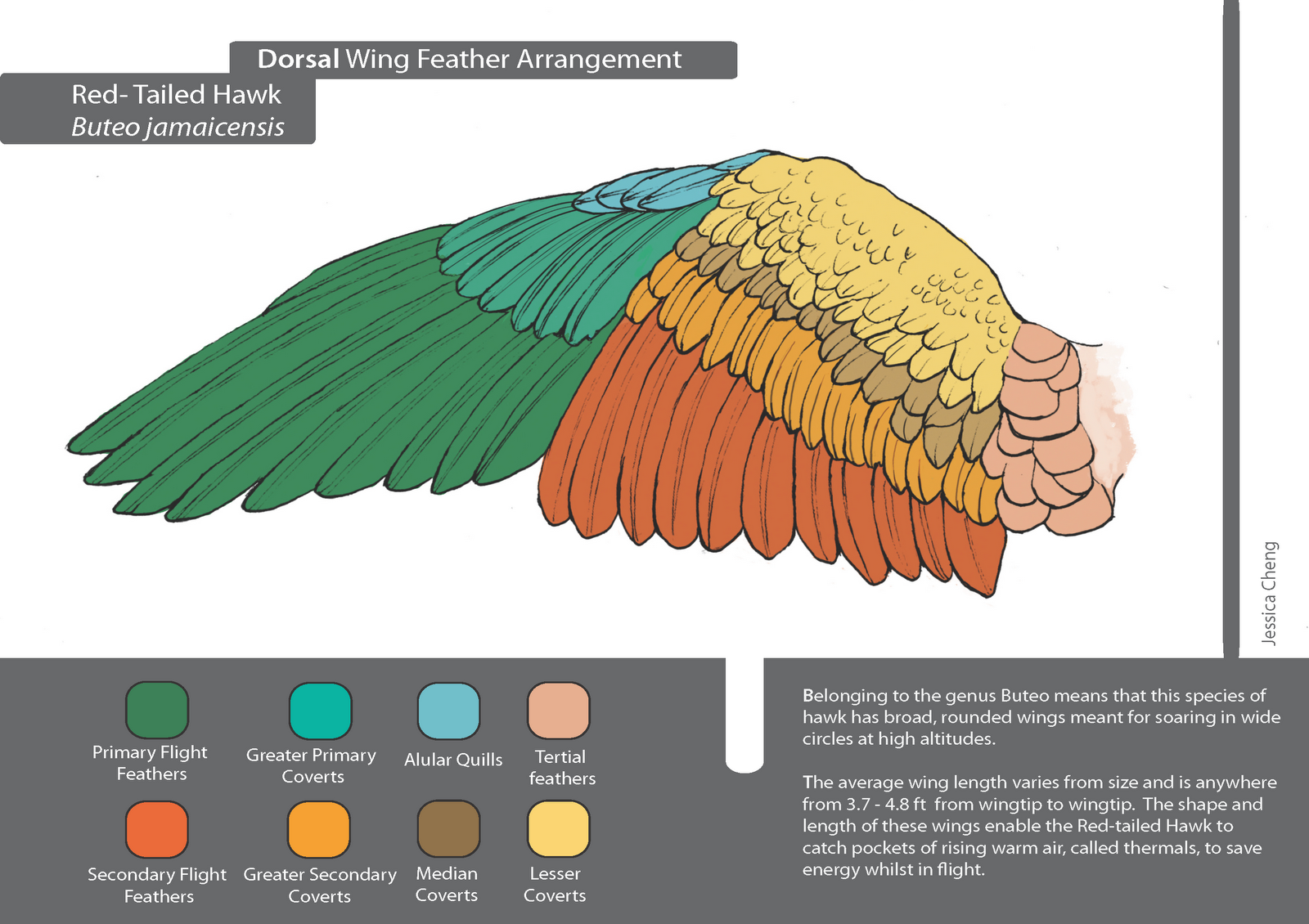 Diagram Of A Red Tailed Hawk Explained Wiring Diagrams Bald Eagle Photos Topos Summitpost Pin By Caroline Peirce On References Pinterest Wings Drawing