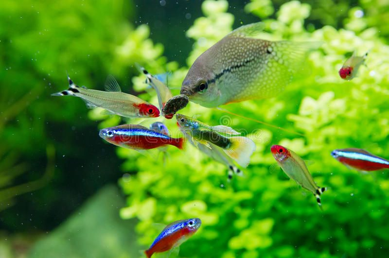 Pin On Tetras Peces