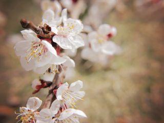 Japan 2020 Cherry Blossom Festival Updated Dates Flowers Photography Cherry Blossom Festival Blossom