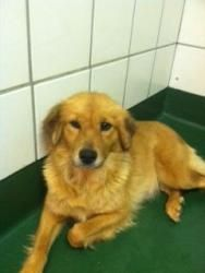 Adopt Amber On With Images Dog Sounds Golden Retriever Dog