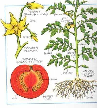 Showing gallery for tomato plant diagram garden pinterest showing gallery for tomato plant diagram ccuart Gallery