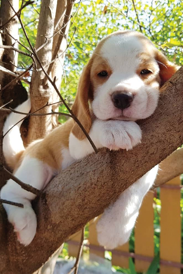 35 Most Attractive Beagle Puppies That Will Steal Your Heart Away Pictures Beagle Puppy Cute Beagles Beagle