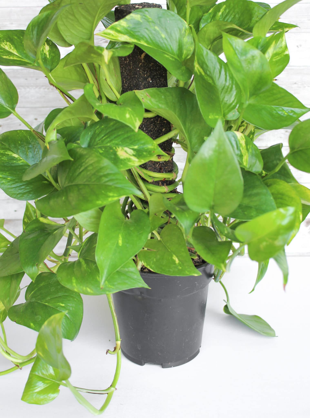 How to Care for a Pothos Plant The Perfect Houseplant for Gardening Beginners is part of Pothos plant, Ivy plant indoor, Plants, Ivy plants, Indoor plant care, House plant care - Pothos plants are lowmaintenance indoor plants that can survive being in lowlight  Learn how to care for pothos with this helpful post!!
