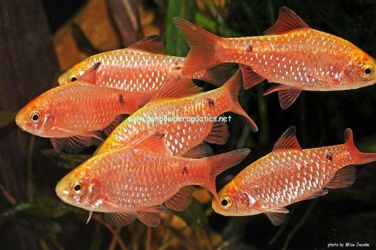 Neon Rosy Barb Pethia Conchonius Aquarium Fish Freshwater Aquarium Fish Tropical Fish