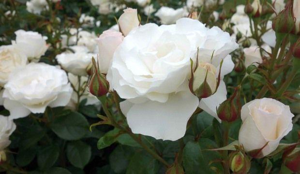 White romance rose in sissinghurst gardens nz garden related white romance rose in sissinghurst gardens nz mightylinksfo