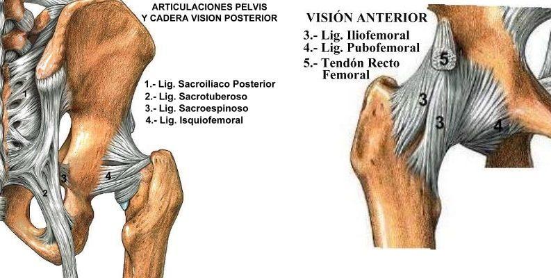 Hermosa Ligamentos De La Cadera Y Los Tendones Foto - Anatomía de ...