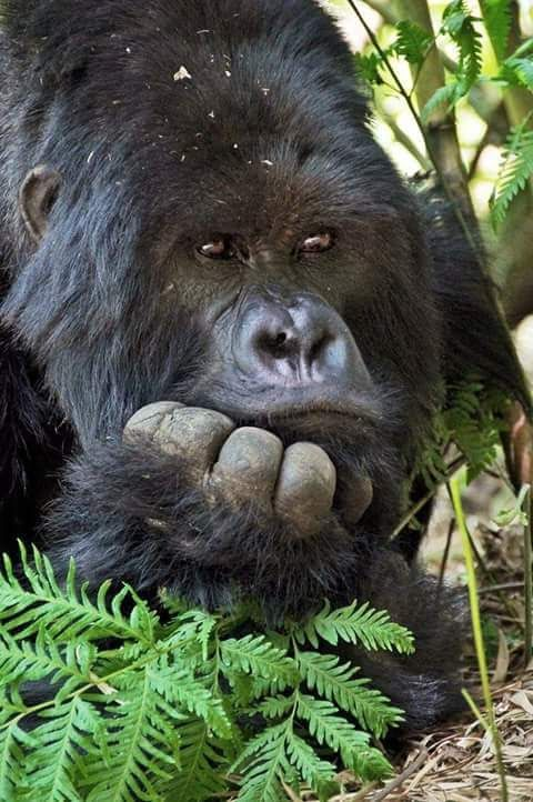 Best 25+ Ape monkey ideas on Pinterest Pictures of ...