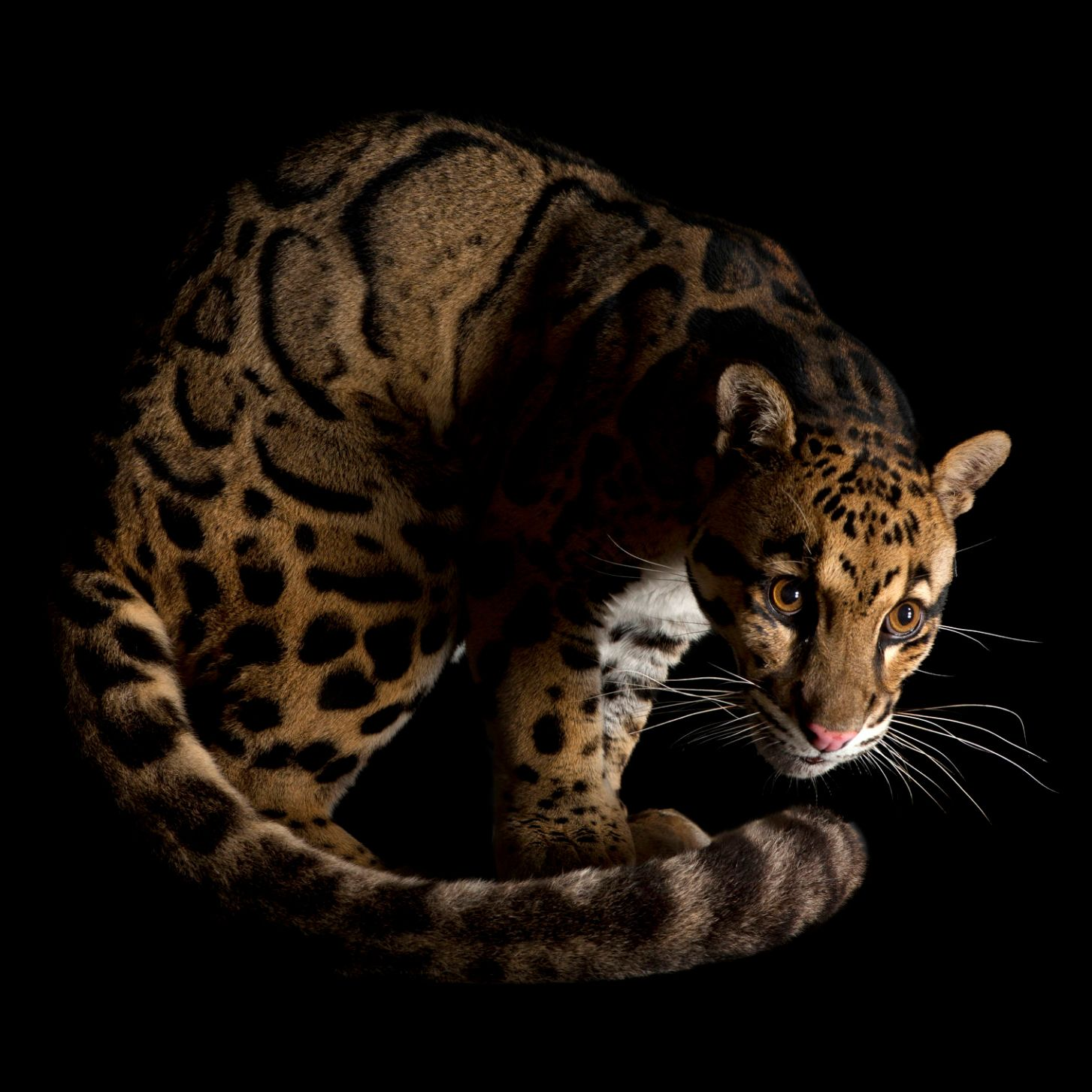 Clouded leopard (Neofelis nebulosa). A vulnerable (IUCN